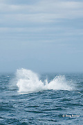 southern resident orca, or killer whale, Orcinus orca, splashing back into the water after breaching, off southern Vancouver Island, Strait of Juan de Fuca, British Columbia, Canada ( Eastern North Pacific Ocean ); #6 in sequence of 6