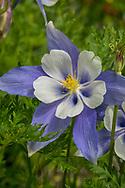 Colorado Blue Columbine, Colorado state flower, wildflower