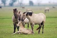Konik horse family - mares & stallion encouraging young foal to stand up. Oostvaardersplassen, Netherlands. Mission: Oostervaardersplassen, Netherlands, June 2009