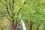 Ponytail Falls Seen Through Lush Early Spring Maple Trees, Columbia River Gorge, Oregon