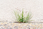 wild grass browing in bwtween the cracks of the pavement outdoors