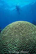 giant brain coral, Colpophyllia natans,<br /> Molasses Reef, Key Largo,<br /> Florida Keys National Marine Sanctuary<br /> Florida ( Western Atlantic Ocean )