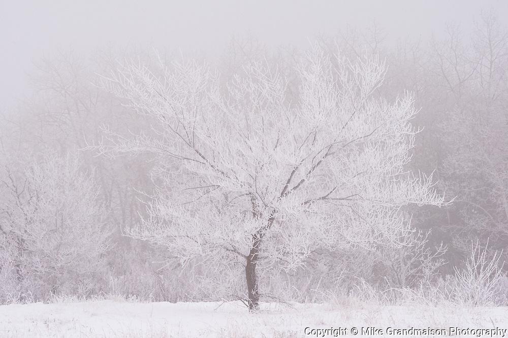 Hoarfrost covered tree. Birds Hill Provincial Park, Manitoba, Canada