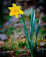 Daffodil. Image taken with a Fuji X-H1 camera and 200 mm f/2 OIS lens and 1.4 x teleconverter.