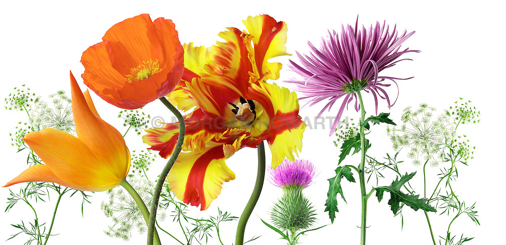 Flaming Parrot Tulip Yellow, Red Eschscholzia californica California poppy queen annes lace