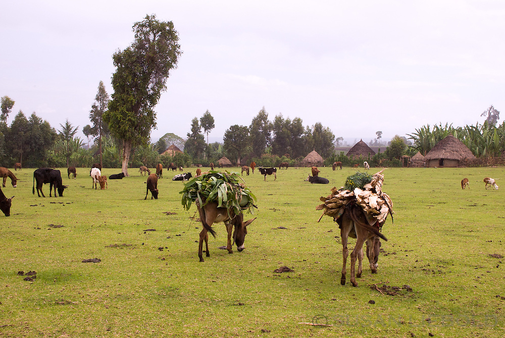 Donkeys, cows and goats eating grass in a field in Awassa, Ethiopia.