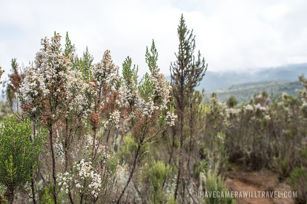 Short scrub with flowers in the transition from the forest zone to the heath zone on Mt Kilimanjaro.