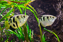a pair of banded archerfish, Toxotes jaculatrix, renowned for its ability to shoot down insect prey above water as far as 3 m (10 feet) by expelling beads of water from its mouth with considerable force underwater, tropical freshwater and/or blackish water species, Asia and Oceania (c)