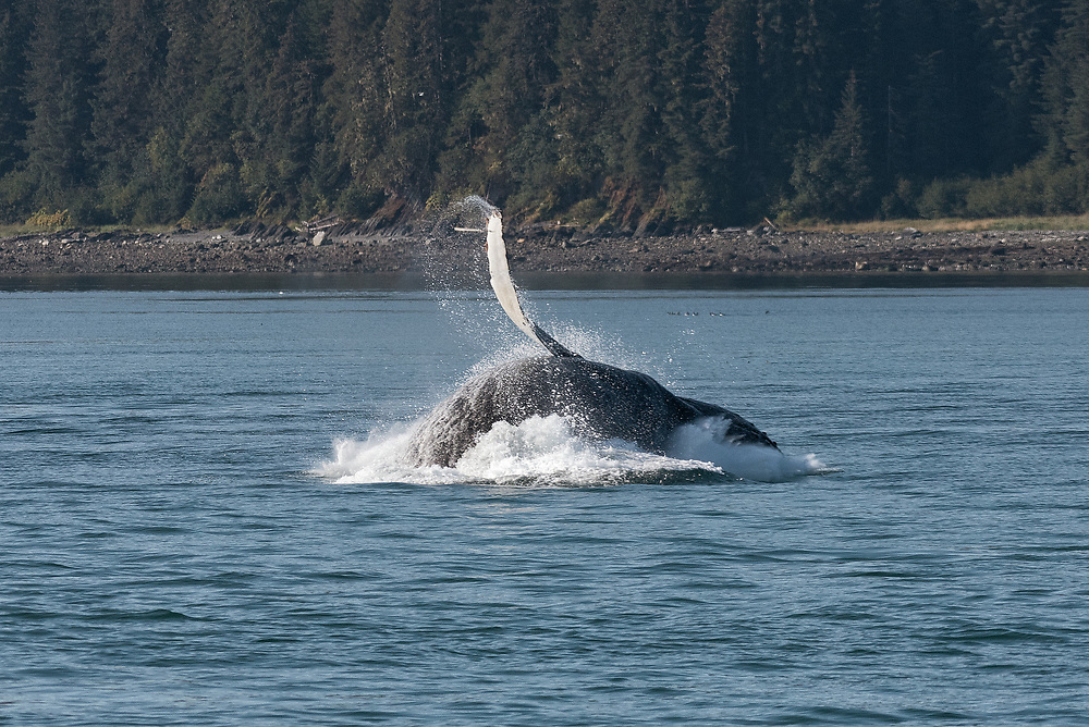 A humpback whale lands on the water after breaching