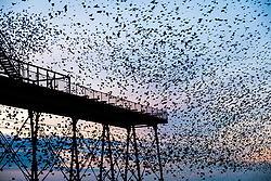 © Licenced to London News Pictures.<br /> Aberystwyth Wales UK, 26/11/2018. <br /> Huge flocks of tens  of thousands of  tiny starlings fill the  air as they fly in from their daily feeding grounds before roosting for the night , filling  every possible surface a on the forest  of cast iron legs underneath  Aberystwyth's Victorian seaside pier. <br /> Aberystwyth is one of the few urban roosts in the country and draws people from all over the UK to witness the spectacular nightly displays.<br /> photo credit Keith Morris/ LNP