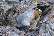 Hoary Marmot in Denali National Park