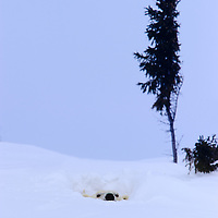Mother Polar Bear pokes her head out of the den for the first time in Wapusk National Park south of Churchill , Manitoba Canada near the Hudson Bay.
