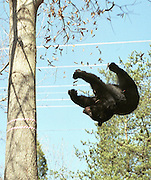 A black bear falls from a tree in the median of the Route 29 in Albermarle County near Charlottesville, Va. on Thursday, April 11, 2002 after being tranquilized by wildlife officials. The bear was first hit by a car Wednesday evening and was eventually captured by the Virginia Department of Game and Inland Fisheries. Wildlife officials then took the animal to an undislosed location, where they said they would attend to the  broken leg they said the bear suffered when it was hit by the car Wednesday night.  (Photo Andrew Shurtleff)