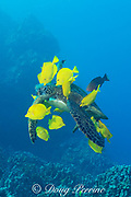 green sea turtle (Chelonia mydas), Threatened Species, being cleaned of algae by yellow tangs (Zebrasoma flavescens) and endemic regal parrotfish (Scarus dubius), Puako, Kona, Hawaii ( Central Pacific Ocean )