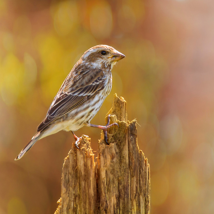 A Female Finch On Her Perch Backed By Soft Autumn Bokeh