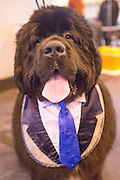 "© Licensed to London News Pictures. 06/03/2014. Birmingham, UK. Blue Emperor from Italy wears a blue tie and waistcoat ""bib"". Owners and dogs attend the first day of Crufts 2014 at the National Exhibition Centre, Birmingham, today 6th March 2014. Crufts, a four day competition, is the worlds largest dog show, attracting over 22,000 dogs and owners. It had its first show in 1891. Photo credit : Stephen Simpson/LNP"