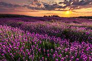 Splendid lavender field at sunset