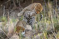 Ein Leopardpaar  (Panthera pardus) bei der Paarung, Schutzgebiet Sabi Sands, Südafrika<br /> <br /> Mating leopard (Panthera pardus) in the private game reserve Sabi Sands, South Africa