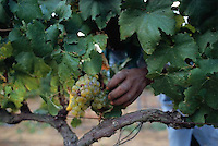 ca. March 1999, South Africa --- Harvesting Grapes in South African Vineyard --- Image by © Owen Franken/CORBIS