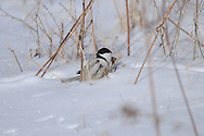 Black-Capped Chickadee among the twigs and dead plants in the snow.