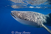 whale shark ( Rhincodon typus ) with tail of remora protruding from spiracle, Kona Coast of Hawaii Island<br /> ( the Big Island ) Hawaiian Islands, USA ( Central Pacific Ocean )