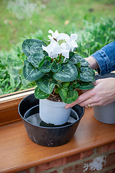 Watering a cyclamen in a conservatory by placing it in a bowl of water.