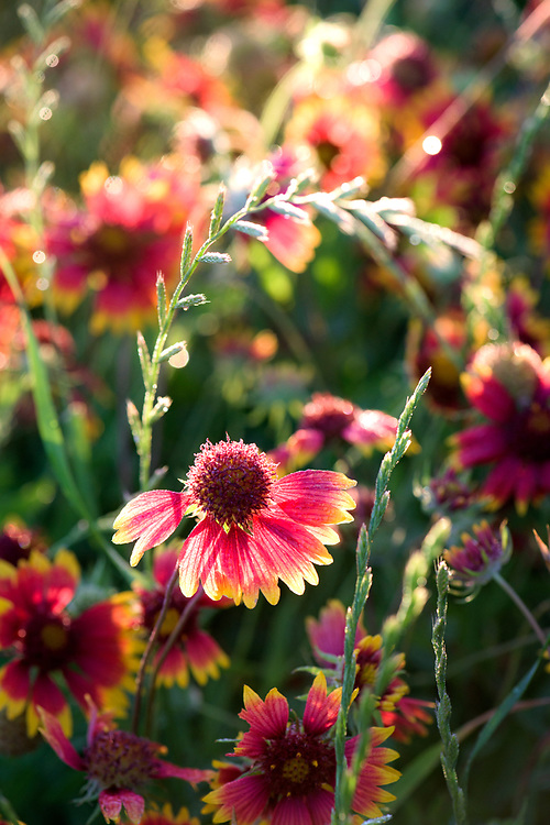 Gaillardia pulchella aka firewheel aka Indian blanket, Johnson City in the Texas Hill Country