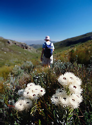 Walker going through fynbos vegetation in the mountains above Franschhoek (Credit Image: © Axiom/ZUMApress.com)