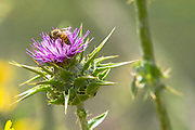 A Honey Bee and a Holy Thistle flower in a field in the Israeli coastal city of Netanya