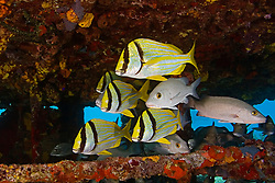 Porkfish, Anisotremus virginicus, Gray Snapper, Lutjanus griseus, and Sailors Choice, Haemulon parra, sheltering under Sugar Wreck, the remains of an old sailing ship that grounded many years ago, West End, Grand Bahamas, Caribbean,Atlantic Ocean