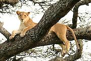Africa, Tanzania, Serengeti National Park, Lioness Panthera leo on a tree