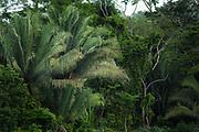 A Scarlet Macaw ( Ara macao cyanoptera ) rides a wind blown palm branch, Raspacullo river, Belize.