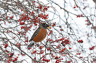 01382-05314 American Robin (Turdus migratorius) eating Hawthorn berry in winter Marion Co. IL