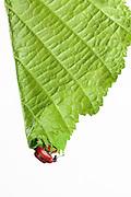 [captive] Hazel Leaf-roller Weevil (Apoderus coryli) Westensee, Germany (sequence 2/9) | Durch Anbeißen der Hauptachse hat der weibliche Haselblattroller (Apoderus coryli) aus der Familie der Dickkopfrüssler (Attelabidae) das Haselblatt zum Erschlaffen gebracht. Es faltet sich dabei entlang der Mittelrippe zusammen. Nun beginnt sie zielsicher, das große Blatt von der Spitze her aufzurollen. Sie wird zwischendurch manchmal pausieren, ein bis mehrere Eier in die Blattrolle legen und nach einigen Stunden Arbeit ihr Werk vollendet haben.