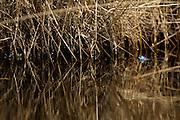 Moor Frog (Rana arvalis), male | Blauer Moorfrosch (Rana arvalis), maennlich zur Laichzeit