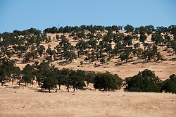 Oak grassland landscape near Mocassin, California.   Photo copyright Lee Foster california120609.