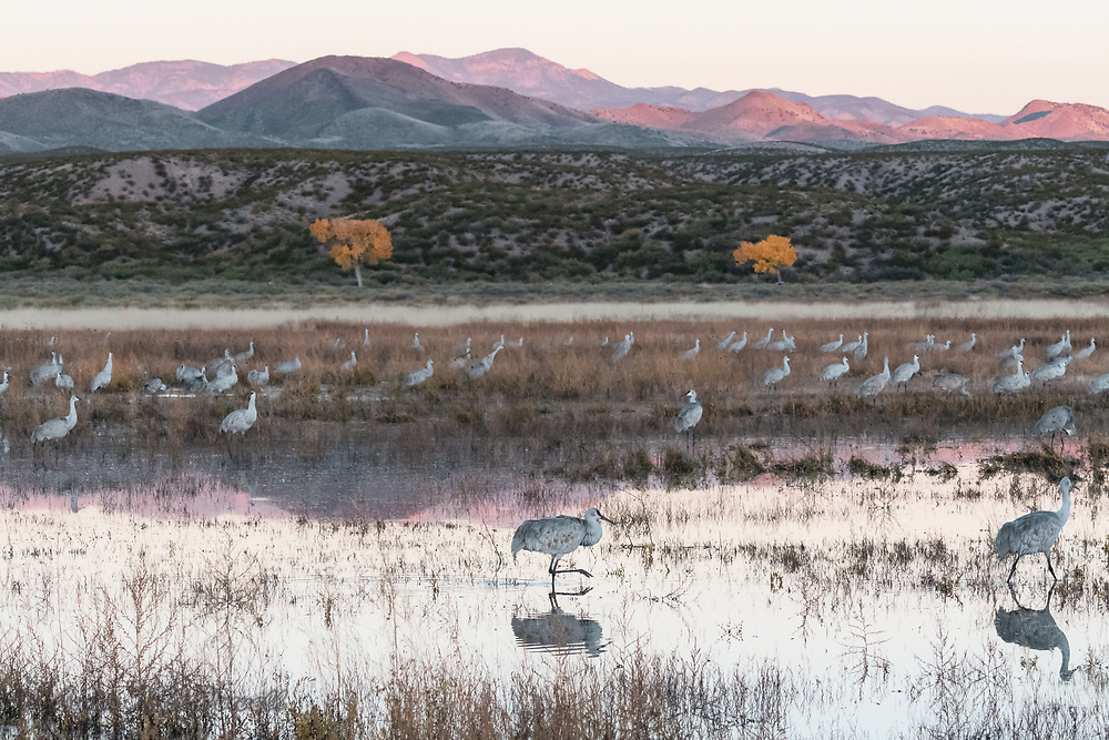 Color, reflection and Sandhill Crane flock creating beauty in the crane pool.