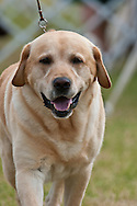Yellow Lab 3