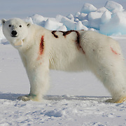 A female polar bear with a newly painted identifying number on her back and a radio collar around her neck, stands in a groggy disoriented state. She has just emerged from an immobilizing drug used by USGS biologist Steven Amstrup. The number is used to identify the bear from the air so she is not captured again that same year. The number wears off after a couple of weeks.