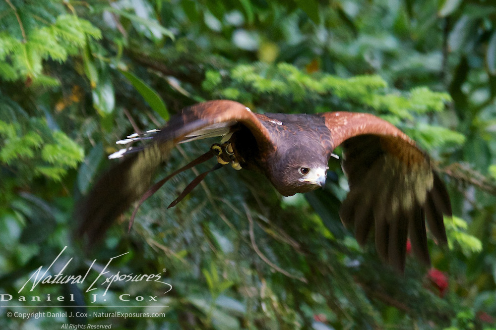 Harris hawk, part of the falconry program at the Ashford CAstle, Ireland.