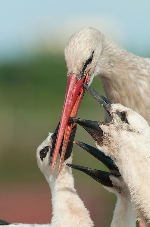 White Stork (Ciconia Ciconia) feeding its chicks around Prypiat area, Turov, Belarus