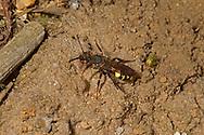 Nomada leucophthalma, a kleptoparasite of Andrena clarkella