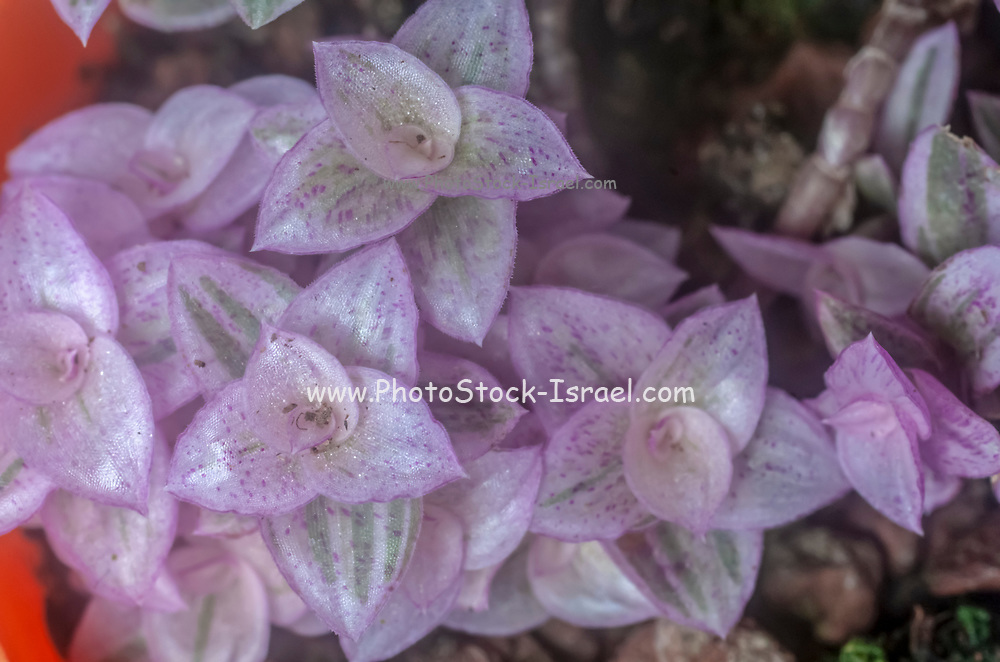Close up of a rainbow sedum plant. Photographed in Israel in January