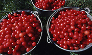 Cherries from family farm, Dauphin Co., PA