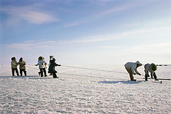 Inputs Pulling Bowhead Whale Under New Ice