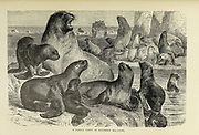 Sea lions are pinnipeds characterized by external ear flaps, long foreflippers, the ability to walk on all fours, short, thick hair, and a big chest and belly. From the book ' Royal Natural History ' Volume 2 Edited by Richard Lydekker, Published in London by Frederick Warne & Co in 1893-1894