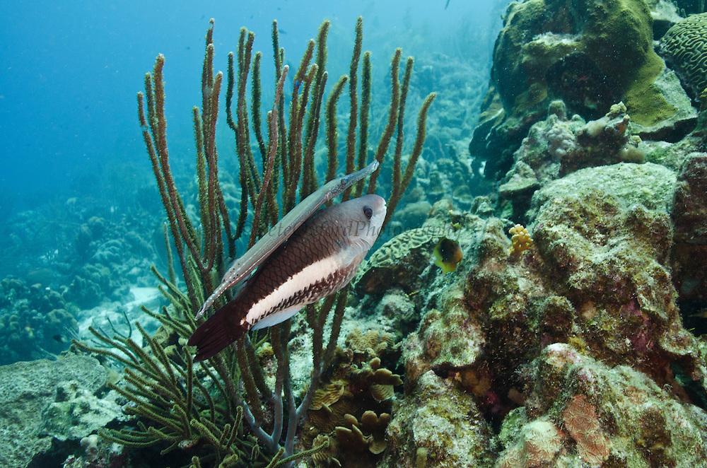 Queen Parrotfish Initial Phase (Scarus vetula) & Trumpetfish (Aulostomus maculatus)<br /> BONAIRE, Netherlands Antilles, Caribbean<br /> HABITAT & DISTRIBUTION: Reefs<br /> Florida, Bahamas, Caribbean & Bermuda