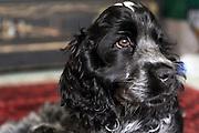 Henry, the blue roan cocker spaniel puppy