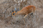 Male steenbok (Raphicerus campestris) from Zimanga, South Africa