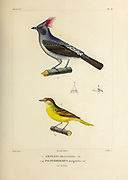 hand coloured sketch Top: red-crested cotinga (Ampelion rubrocristatus [Here as Ampelis rubro-cristata]) Bottom: black-capped becard (Pachyramphus marginatus [Here as Pachyrhynchus marginatus]) From the book 'Voyage dans l'Amérique Méridionale' [Journey to South America: (Brazil, the eastern republic of Uruguay, the Argentine Republic, Patagonia, the republic of Chile, the republic of Bolivia, the republic of Peru), executed during the years 1826 - 1833] 4th volume Part 3 By: Orbigny, Alcide Dessalines d', d'Orbigny, 1802-1857; Montagne, Jean François Camille, 1784-1866; Martius, Karl Friedrich Philipp von, 1794-1868 Published Paris :Chez Pitois-Levrault et c.e ... ;1835-1847